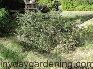 The Barberry after Pruning