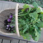 Basket of Turnips